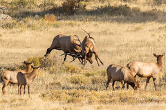 Elk bulls battle for supremacy - and the ladies