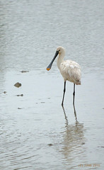 Espatula ((C)JJMB) Tags: espatula aves pjaros pajaro humedal animales animal vitoria vitoriagasteiz salburua bird wetland