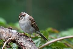 Quizzical (dbifulco) Tags: chsp backyardbirds birds cherrytree chippingsparrow nature newjersey nikkor300 wildlife yard