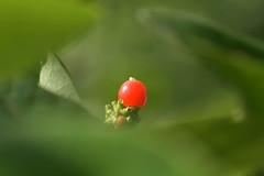 Geissblatt (2) (dieterbraun) Tags: nikon d5500 pflanze frucht