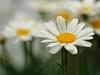 ~Ups A Daisy~ (nushuz) Tags: flowers macro daisies pretty bokeh summertime happythursday happyflowers abeautifuldayintheneighborhood upsadaisy popsonblack