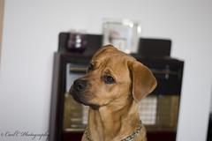 Lola (Carl C Photography) Tags: portrait people animals photography c mastiff rottweiler bull carl rottie mastweiler