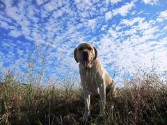 7915349428 2df59ff9a7 m Hercules, Photos of my fun Yellow Labrador