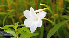 White wild flower!