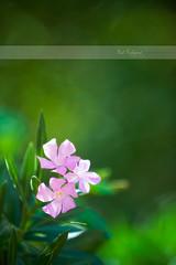 Nerium oleander (Paul Rodrigues Photographies -OFF-) Tags: flower green portugal fleur wow vert rodrigues feuille neriumoleander laurierrose waow paulrodrigues rodriguespaul paulrodriguesphotographies