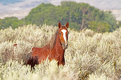 Seeing you seeing me (littlebiddle) Tags: wild horses horse nature animals mammal washington wildlife mustang dslr equine equus canon7d