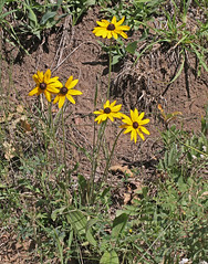 CAB010318a (jerryoldenettel) Tags: flower susan daisy nm rudbeckia wildflower asteraceae blackeyedsusan 2012 elkmountain yellowdaisy browneyedsusan gloriosadaisy asterales brownbetty yellowoxeyedaisy asterids rudbeckiatriloba browndaisy sanmiguelco goldenjerusalem poorlanddaisy