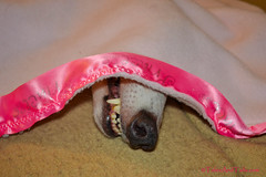 You Can't See Me (houndstooth4) Tags: dog greyhound bunny day251 ourdailychallenge 3652012 07092012 dogchal 365the2012edition
