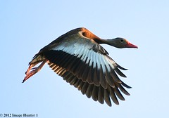 Black-bellied Whistling Duck - Bayou Courtableau, Louisiana (Image Hunter 1) Tags: blue sky nature birds flying wings louisiana flight bayou swamp marsh wingspan wingspread blackbelliedwhistlingduck canoneos7d birdslouisiana bayoucourtableau