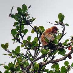 "Proboscis monkey • <a style=""font-size:0.8em;"" href=""http://www.flickr.com/photos/82709626@N00/7961147340/"" target=""_blank"">View on Flickr</a>"