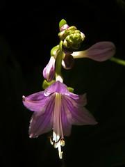 hosta flower (littlepeace1220) Tags: summer flores flower nature fleur garden flora violet hosta flowersarebeautiful macroflowerlovers flowerthequietbeauty