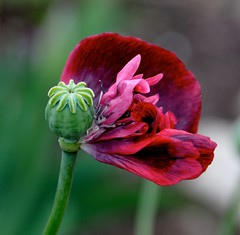 red flame (glennisb) Tags: pink red flower nature petals awesome blossoms flame poppy hennysgardens flowerthequietbeauty