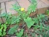 sow thistle (Sonchus oleraceus)
