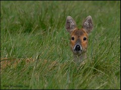 Chinese Water Deer - Bedfordshire (Alan Woodgate) Tags: