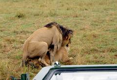 No Privacy (bow'tai'ed) Tags: africa kenya wildlife safari lions maasimara