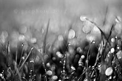 morning glory... (ggcphoto) Tags: grass 50mm bokeh dew waterdrops sonyalpha gettyimagesirelandq12012