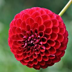 Lady in Red (Stella Blu) Tags: dahlia flowers red closeup squareformat thumbsup stellablu nikkor105mmf28gvrmicro 15challengeswinner agcgwinner nikond5000 gamex2winner storybookwinner pregamesweepwinner gamesweepwinner storybookttwwinner shcmissionwinner pregameduelwinner