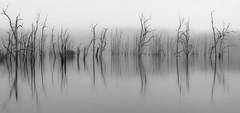 Dead Calm ! (bigvern1263) Tags: trees bw white black art water fog sunrise dead fine smooth calm