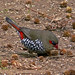 Red-eared Firetail