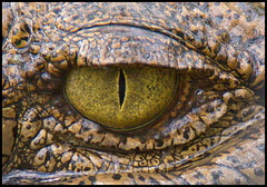 Look Into The Aligators Eye.... (Minkn) Tags: wild eye nature animals norway america norge us eyes close florida miami wildlife sony united raptor arne states per sal raptors aligators the a55 18250 upanimal minkn