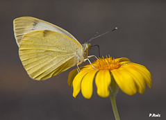 Mariposa tinerfeña (Pedrali) Tags: butterfly tenerife mariposa icoddelosvinos pedrali olympuse3 zuiko1260mm cdgexplorer