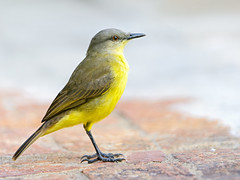 Yellow bird at the lodge (Tambako the Jaguar) Tags: wild brazil cute bird nature yellow nikon close floor wildlife small gray lodge wildanimal matogrosso pantanal flycatcher d4 machetornisrixosa cattletyrant