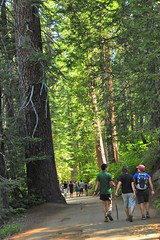 On the path (faungg) Tags: park old travel trees people green nature pine walking big woods hiking trail national yosemite inside yosemitenationalpark   grenn