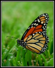 Evening Monarch_2 (bill.lepere) Tags: butterfly monarch lakeland novaphoto blepere