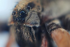Bug-Eyed Earl (Zoom Lens) Tags: hairy hair spider nikon spiders web arachnid spiderweb fast fangs arachnids eightlegs goodluck agile webslinger webspinner webweaver johnrussellakazoomlens copyrightbyjohnrussellallrightsreserved highwireartists