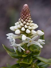 Stackhousia spathulata - Coast Stackhousia (Bill Higham) Tags: white plant flower native australia tasmania herb canon100mm stackhousia rockycape stackhousiaceae canon5dmkii stackhousiaspathulata coaststackhousia