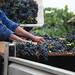 2012 Munselle Merlot Harvest 0008