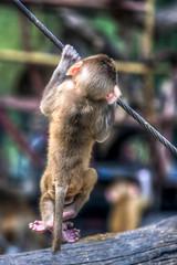 Hanging little Monkey (Puresilk Images (AWAY)) Tags: animal monkey hangin hanging hang