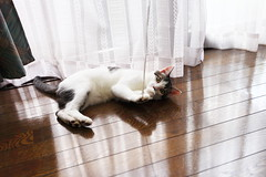 Tom playing string (^_^) (♥ Spice (^_^)) Tags: pet white color male animal japan cat canon geotagged photography eos photo asia flickr floor curtain picture september 日本 5d woodenfloor 猫 companion 動物 pusa 写真 白 可愛い 埼玉県 男の子 saitamaprefecture キャノン 春日部市 kasukabeshi ペット にゃんちゃん markⅱ カラー ネコ にゃん子 gettyimagesjapan12q3 オス ケーテン