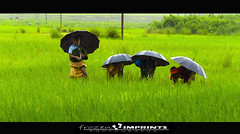 The Food Makers (~ rohit (Out For A While)) Tags: food india field rain umbrella nikon rice farmers grain rainy valley ganda farmer tamron rohit adaptation vizag araku 70300 vishakhapatnam rohitganda ~rohit