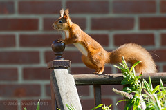 Curious Red Squirrel (s0ulsurfing) Tags: pictures autumn light red wild england sunlight cute english nature animal animals canon fence garden fur mammal island photography furry october squirrel squirrels dof natural wildlife tail bricks picture fluffy ears fluff naturalhistory photograph isleofwight 7d static shock isle wight tufty redsquirrel vulgaris hff 2011 vandegraaffgenerator hivoltage electrostatic sciurus s0ulsurfing naturewatching canon7d jasonswain sciurusvularis staticballs