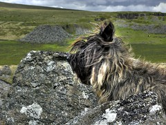 Poppy at Foggin Tor (Ipple Pen) Tags: dog devon dartmoor cairn cairnterrier foggintor