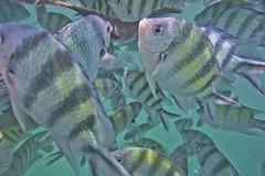 DSC09460 (andrewlorenzlong) Tags: fish swimming swim thailand snorkel snorkeling kohchang kohrang kohrangyai korangyai