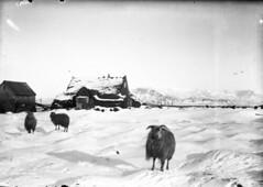 Torfbærinn Sölvhóll á Arnarhólstúni, 1920 (Ljósmyndasafn Reykjavíkur / Reykjavík Museum of) Tags: rey reykjavík dýr torfbær 19001909 bóndabýli sauðfé búfénaður sölvhólsgata 101austurbærgamliausturbær