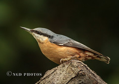 Nuthatch (Nigel Dell) Tags: winter birds flickr wildlife fsg ngdphotos