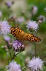 fritillary on spotted knapweed (devoutly_evasive) Tags: orange brown butterfly fritillary ontario canada northern northwestern northwesternontario wildflowers purple