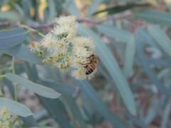 Eucalyptus bloom + bee (EllenJo) Tags: pentaxqs1 pentax july 2016 ellenjoroberts ellenjo eucalyptus bees blooming yard home