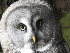 Great grey owl (blue33hibiscus) Tags: greatgreyowl totnesrarebreedsfarm devon