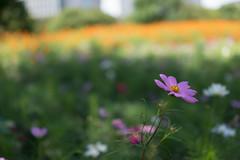 DSC02130 (Zengame) Tags: hamarikyu hamarikyugardens rx rx1 rx1r rx1rm2 rx1rmark2 sony zeiss cc cosmos creativecommons flower japan tokyo           jp