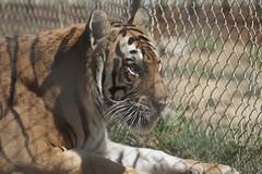 081_Great Cats Park_Bengal Tiger (steveAK) Tags: greatcatsworldpark tiger bengaltiger