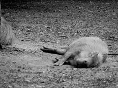 (Pickman's Paintbrush) Tags: summer 2016 cotswoldwildlifepark zoo animals cotswold capybara blackandwhite bw
