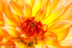 Dahlia-21 (Nualchemist) Tags: flower plant nature simplyflowers petals pink bloom green greenleaves floralphotography dahlia yellow red summer fullbloom botanical bright light floral heavenly macro orange 2016dahiashow colorful white closeup delightful glorious magical soft goldengatepark pretty palepink lightpink enchanting sanfrancisco singleflower cheerful joyful delight california colors palette botanicalgarden organicpattern purple lavender designbynature geometric elementsofdesign silky velvet softlight veil tender flame fire