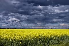 Contrasting (1853) (cfalguiere) Tags: civray clouds colza countryfrance datepub2016q309 flat horizon jaune landscape nuage plat yellow sel20160911 ciel sky plaine champ field exterieur outdoor paysage sel20160918 sel20160925 sel20161002 canola rape rapeseed sel20161009 sel20161016