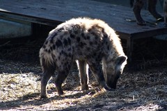 Canberra Zoo (Sharon and Peter Komidar) Tags: canberrazoo hyena