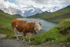 Alpine cows (m-i-v) Tags: alps bachalpsee milka switzerland animal bell cattle cows grass greenery lake mountains pasture peaks snow