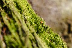 Micro fungo (Luciano Fochi) Tags: funghi muschio nature macro valsesia